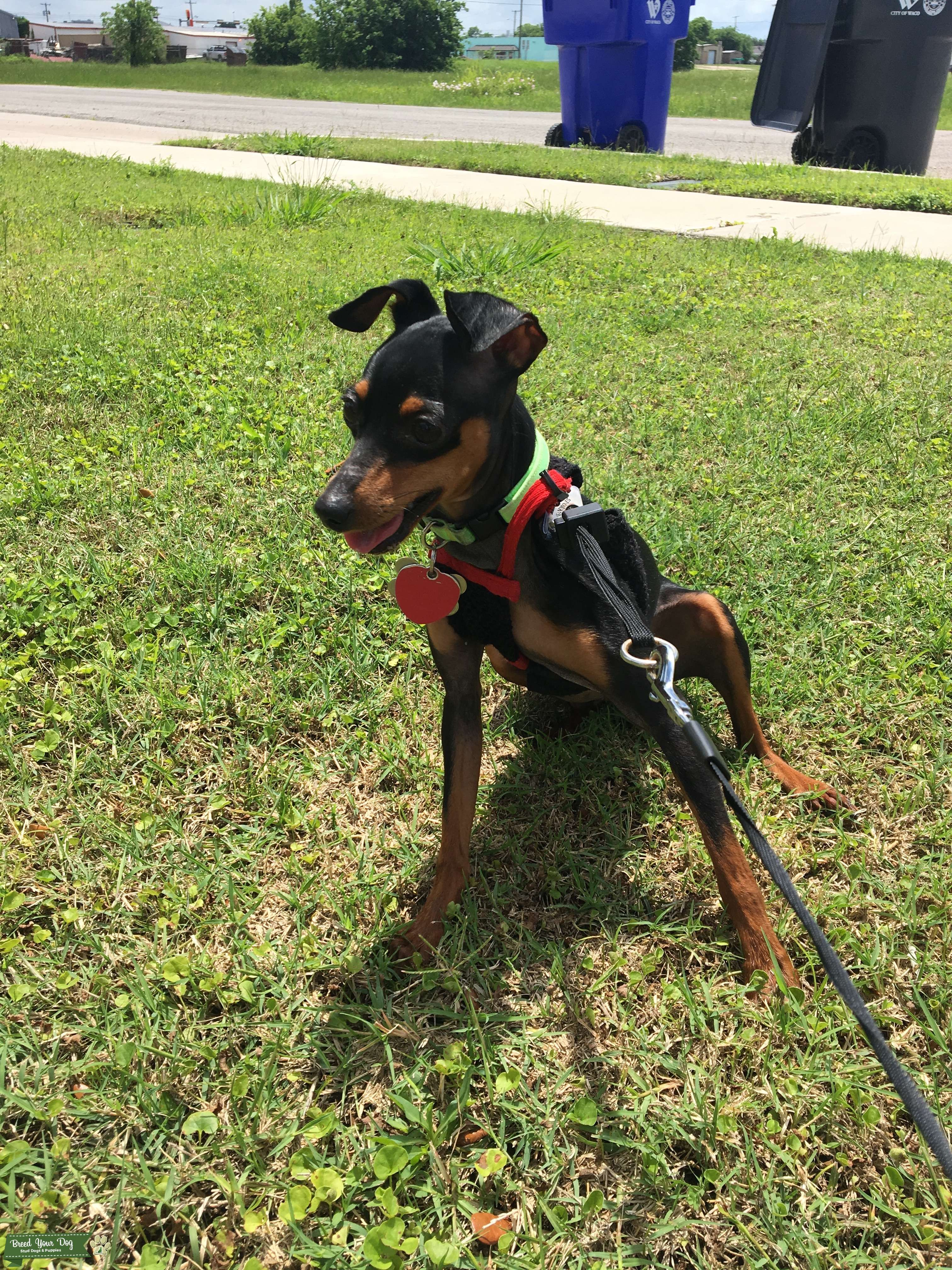 Purebred Teacup Miniature Pinscher Stud looking for Female Listing Image Big