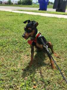 AKC Purebred Miniature Pinscher Stud looking for Female Listing Image