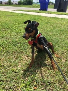 Purebred Teacup Miniature Pinscher Stud looking for Female Listing Image