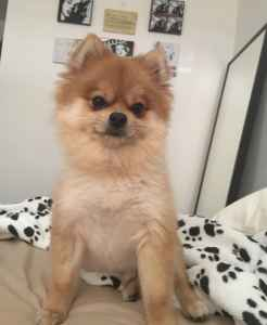 Cute Pomeranian looking for Girlfriend Listing Image