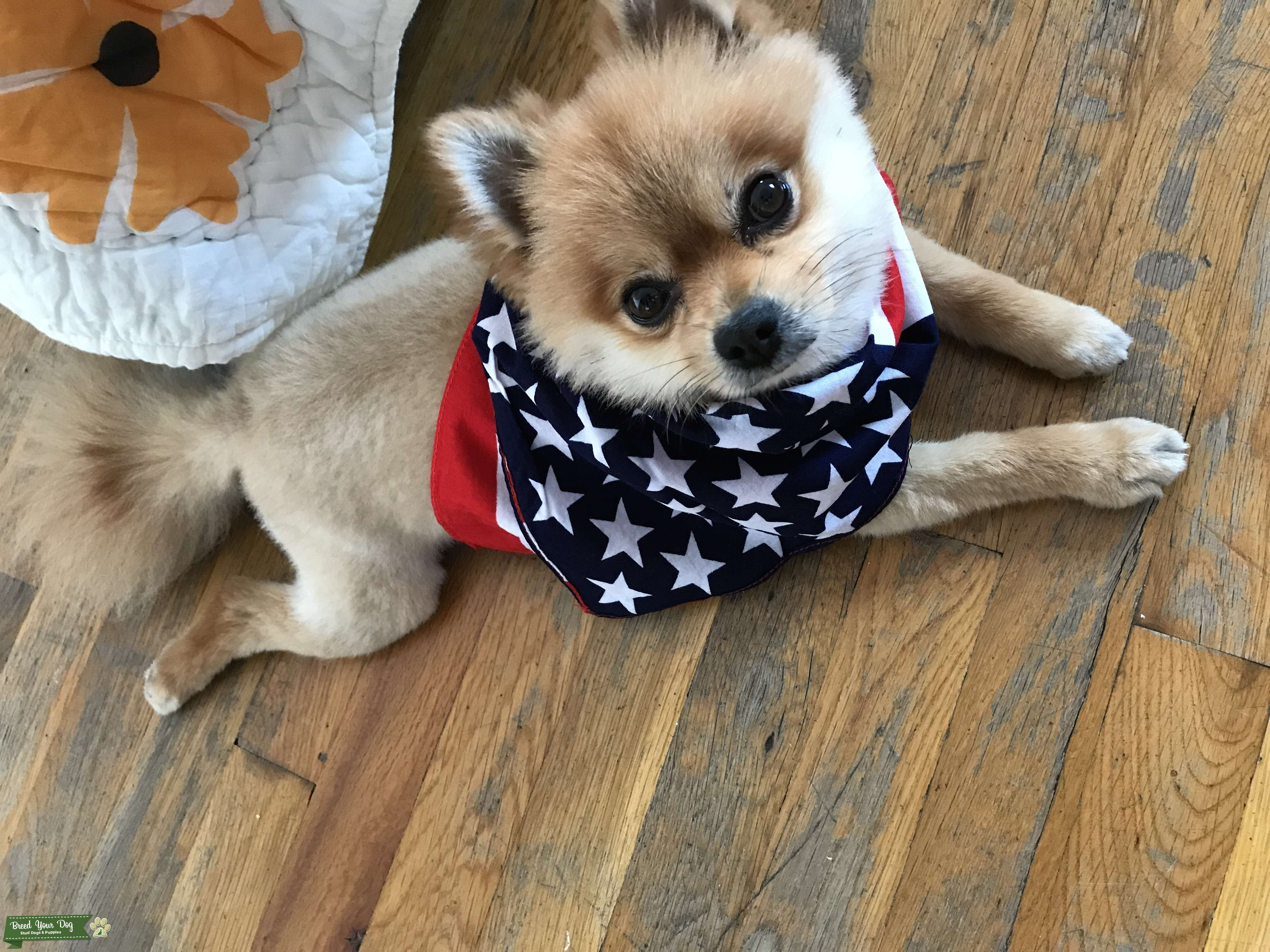 Cute Pomeranian looking for Girlfriend Listing Image Big