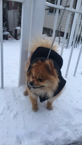 Cute Pomeranian looking for Girlfriend Listing Image Thumbnail