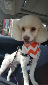 Handsom Pure Bread Poodle looking for a female poodle Listing Image