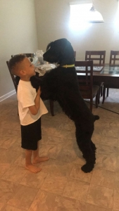Giant schnauzer stud - looking to breed  Listing Image