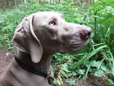 Weimaraner - first time stud Listing Image