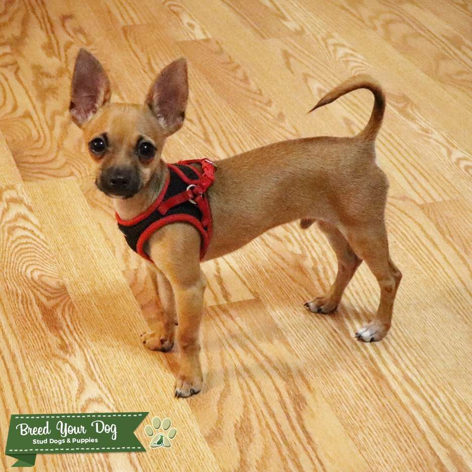 Toy Chihuahua Deerhead Listing Image Big