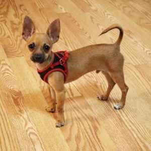Toy Chihuahua Deerhead Listing Image