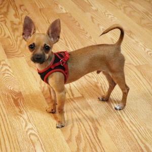 Toy Chihuahua Deerhead Listing Image Thumbnail