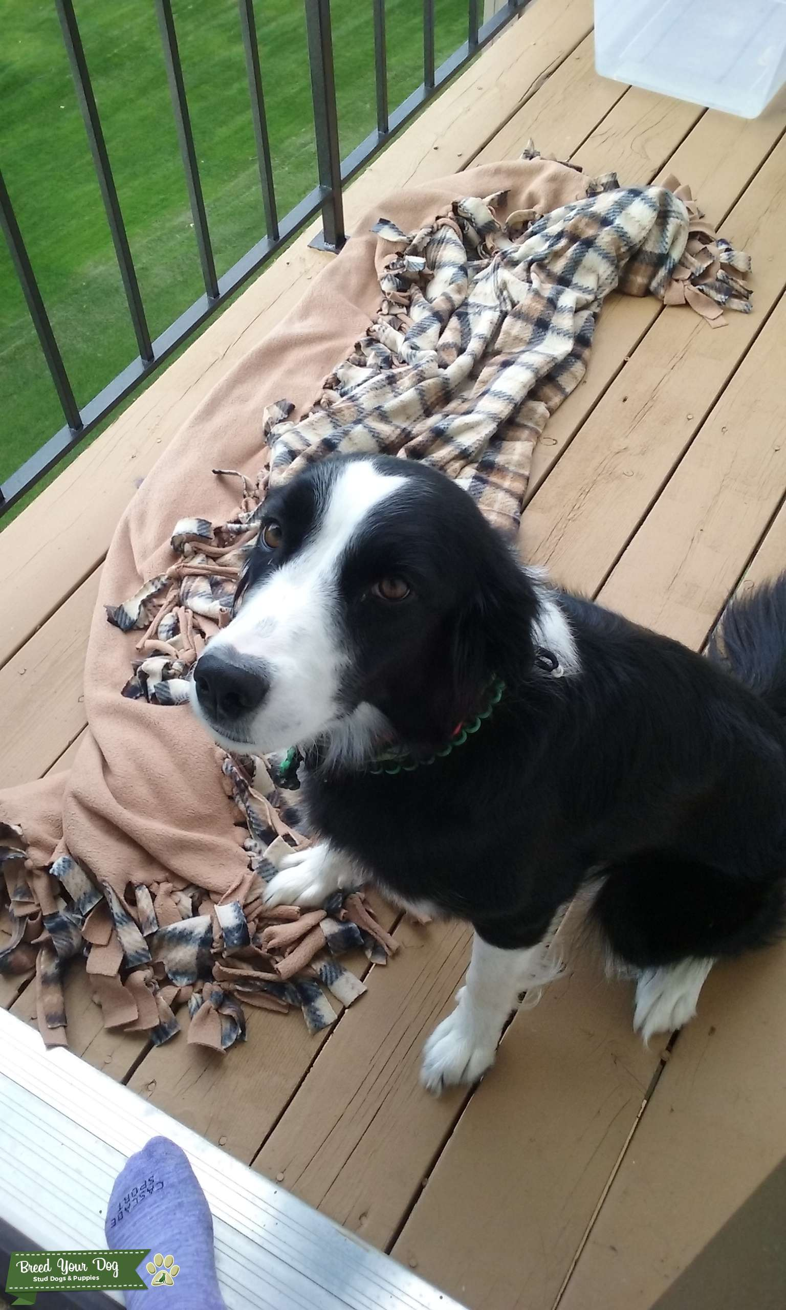 2 year old Border Collie black and white female Listing Image Big
