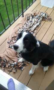 2 year old Border Collie black and white female Listing Image