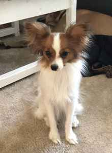 Beautiful Papillon about to go into heat Listing Image