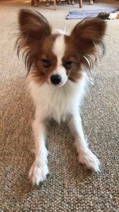 Beautiful Papillon about to go into heat Listing Image Thumbnail
