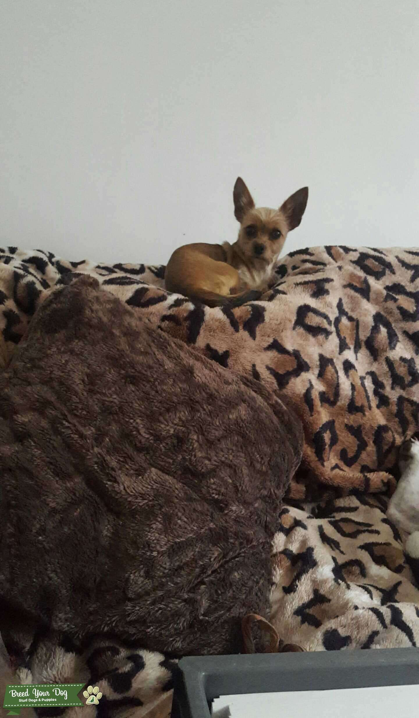 Stud Dog Chihuahua Cross Yorkie Chorkie Breed Your Dog