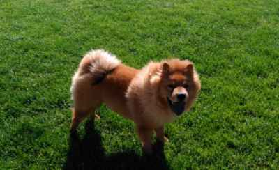 Chow Chow Stud Listing Image