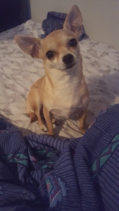 Breeding girl chihuahua Featured Image