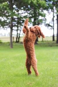 Red Moyen Poodle Stud Listing Image