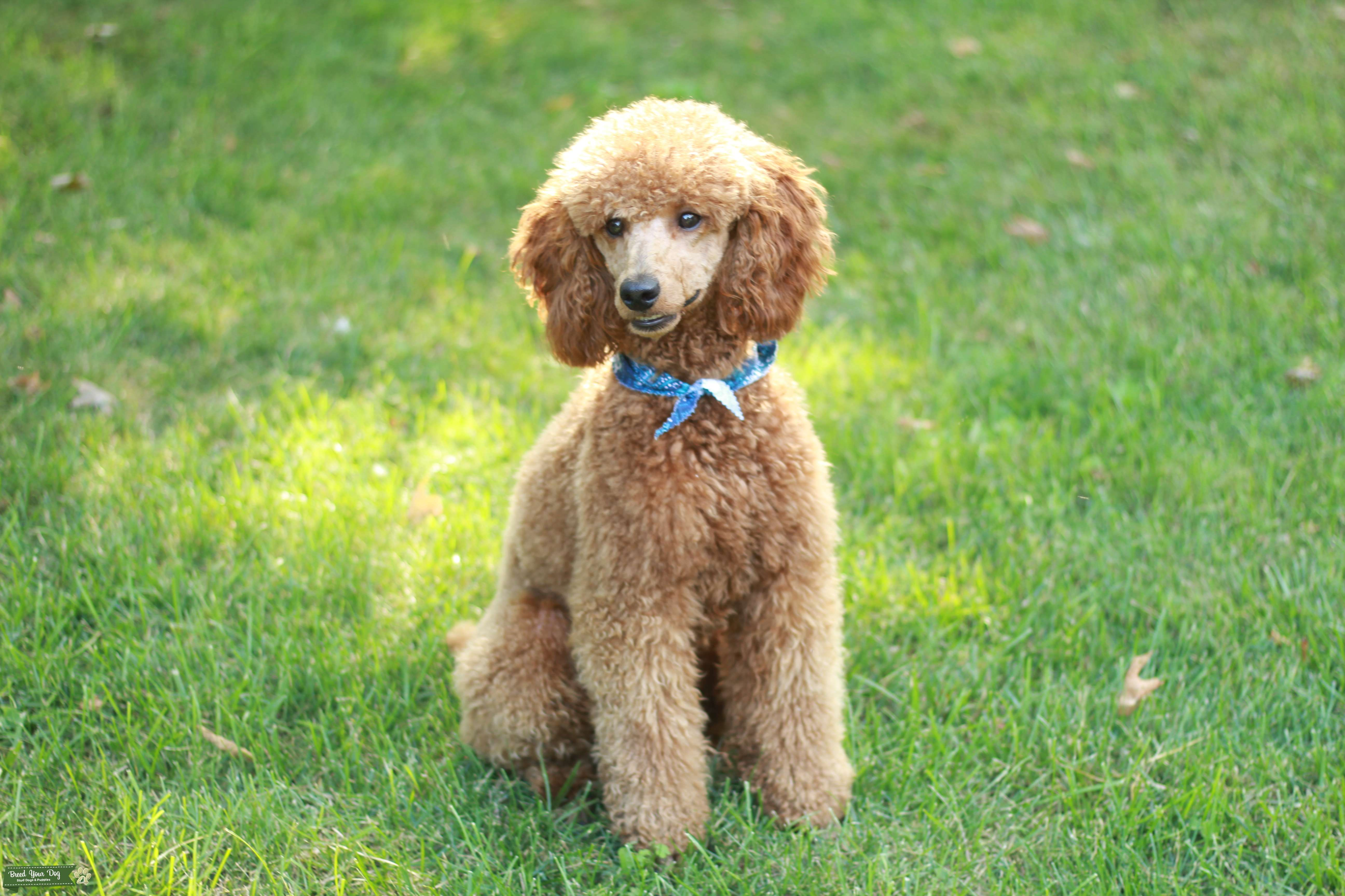 Stud Dog Red Moyen Poodle Stud Breed Your Dog