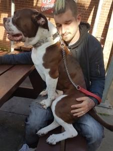 Alapha blue American bulldog  Listing Image