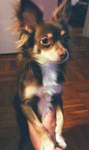 Long Haired Chihuahua Listing Image