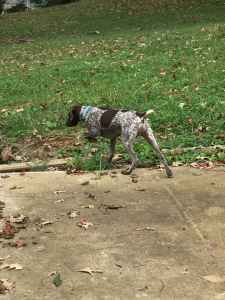 Female German Short Hair Pointer Listing Image