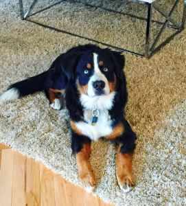 Beautiful Purebred Bernese Stud Listing Image