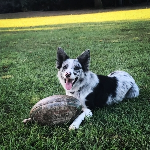 Blue Merle Border Collie Featured Image