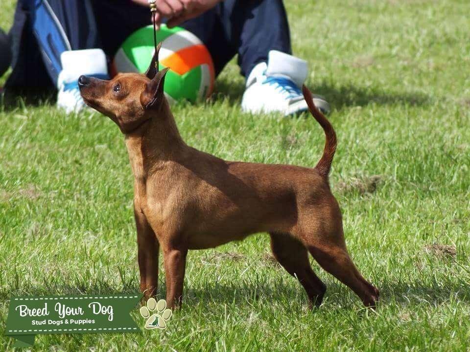 Miniature Pinscher Stud dog  Listing Image Big