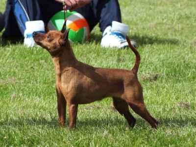 Miniature Pinscher Stud dog  Listing Image