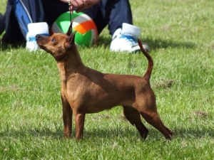 Miniature Pinscher Stud dog  Listing Image Thumbnail