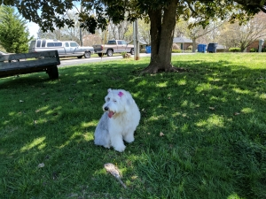 Standard poodle wanted Listing Image Thumbnail