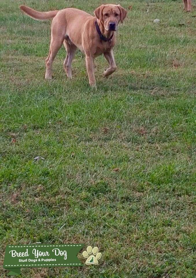AKC Yellow Labrador Retriever  Listing Image Big