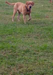 AKC Yellow Labrador Retriever  Listing Image