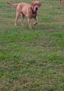 AKC Yellow Labrador Retriever  Listing Image Thumbnail