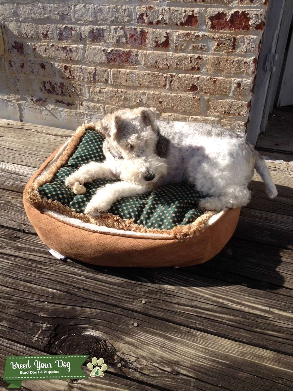 Wire Haired Fox Terrier Listing Image Big
