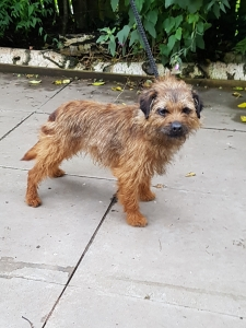 Border terrier  dog for stud. Listing Image