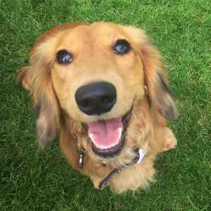 Miniature Long Haired Dachshund Listing Image