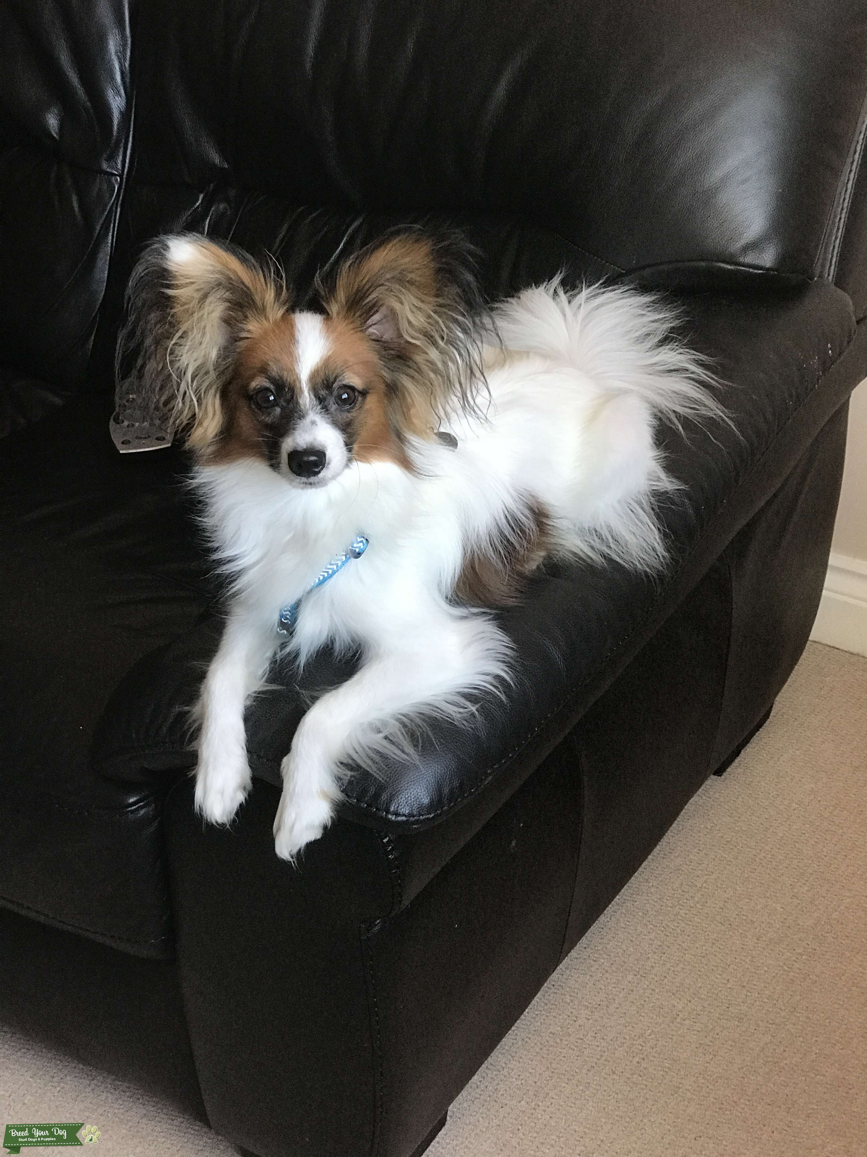 Papillon for stud only Listing Image Big