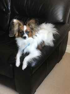 Papillon for stud only Listing Image