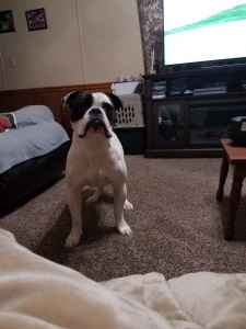 Male Olde English bulldog  looking for female to breed with Listing Image