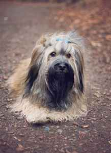 Havanese stud dog sable Prague Listing Image