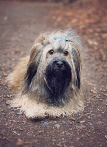 Havanese stud dog sable Prague Listing Image