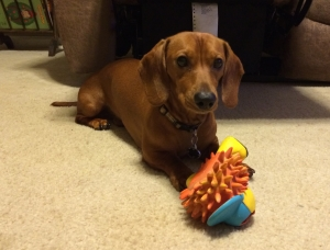 Dachshund Smooth/Red 16lbs Great demeanor Listing Image