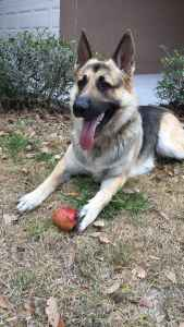 German Shepard male to breed! Listing Image