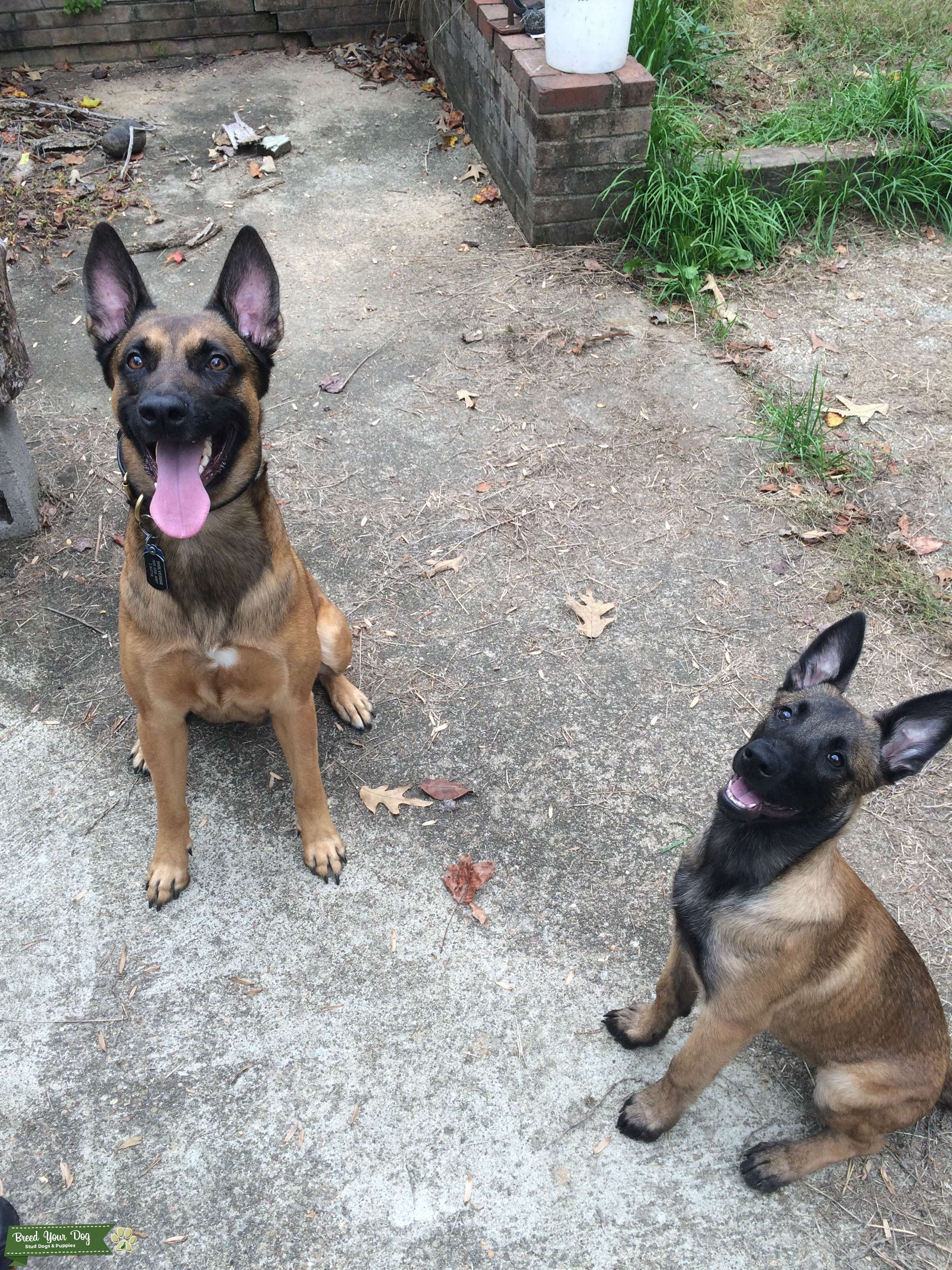 Male Malinois Listing Image Big