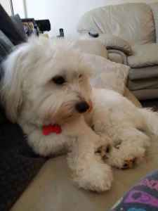 Coton de Tulear Looking for Female to Breed With Listing Image