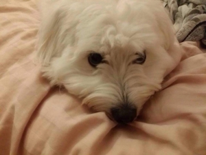 Coton de Tulear Looking for Female to Breed With Listing Image Thumbnail