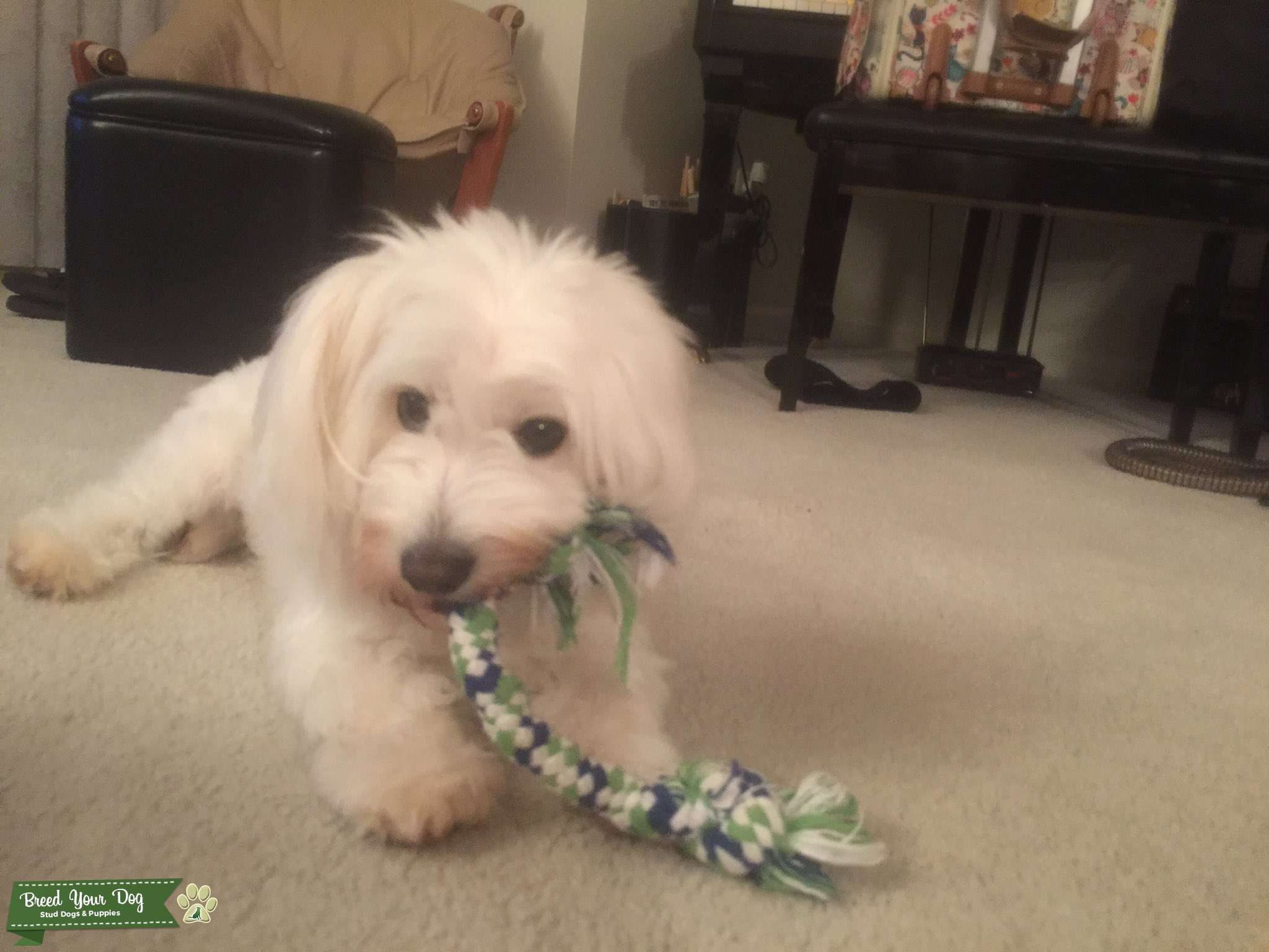 Coton de Tulear Looking for Female to Breed With Listing Image Big