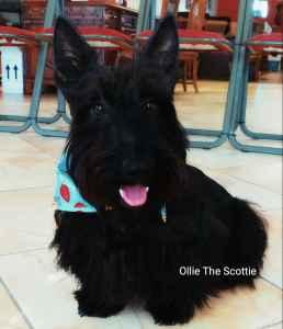 (Youtube/IG Ollie the Scottie) Ollie seeking a female Listing Image