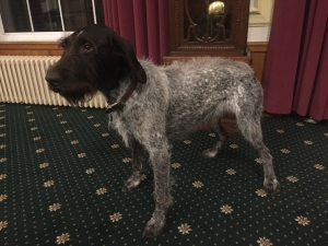 Champion German Wirehaired Pointer to Stud Listing Image