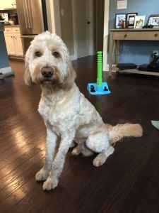 Stud Dog - 2 Year Old Stud Goldendoodle - Breed Your Dog